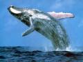 从座头鲸身上找风力发电的灵感